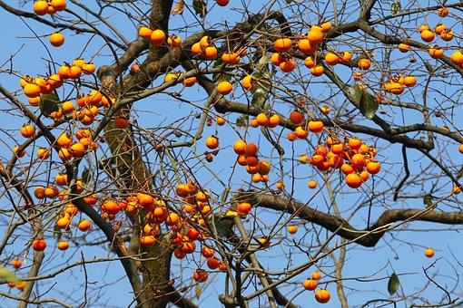 Natural, Fruit Trees, Persimmon, Orange, Fruit, Tree