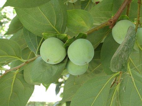 Kaki, Persimmon Fruit, Green, Persimmon, Sharon