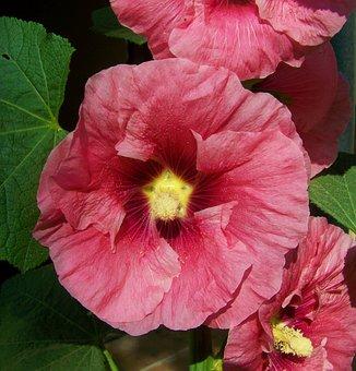 Pink Mauve Rose, Garden Mallow, Summer Flower