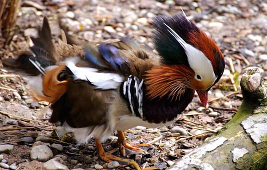 Duck, Mandarinente, Zoo, Colorful, Plumage, Color, Bird
