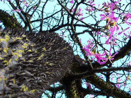 Kapok Tree, Ceiba Pentandra, Pochote, Tribe, Prickly