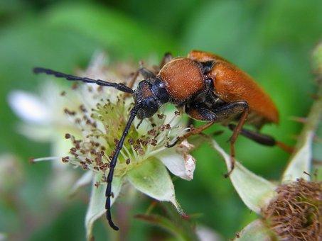 Red Hair Ring, Pyrrhidium Sanguineum, Beetle