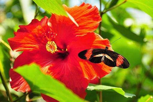 Postman Butterfly, Butterfly, Red And Black Butterfly