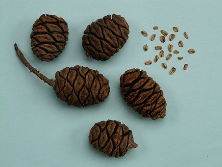 Tap, Sequoia, Sequoia Cones, Seeds, Sequoia Seeds, Germ