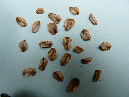Seeds, Sequoia Seeds, Germ, Germinate, Plant