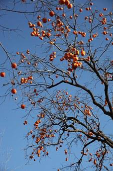 The Persimmon Tree, Fruit Trees, Fruits, Persimmon