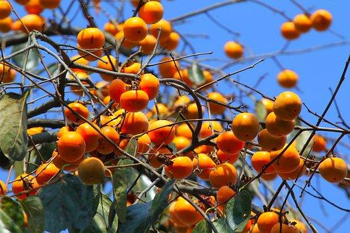 Natural, Fruit Trees, Persimmon, Orange Fruit, Tree