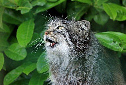 Cat, Pallas Cat, Cute, Mewing, Wild, Wildlife, Close-up