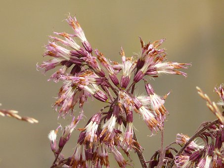 Alpendost Gray, Adenostyles Alliaria, Alpendost