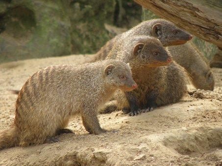 Mungos Mungo, Beast, Africa, Mongoose