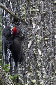 Red Headed, Woodpecker, Woody, Animal, Nature, Bird