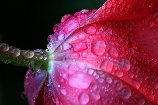 Tulip, Tulip Leaf, Blossom, Bloom, Petal, Drop Of Water