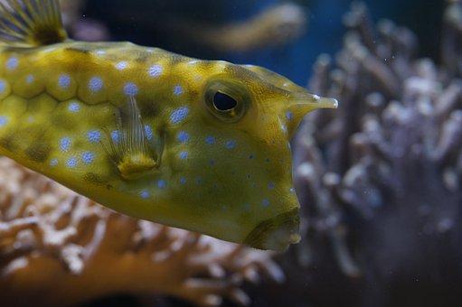Boxfish, Close, Underwater, Swim, Fish, Animal, Water