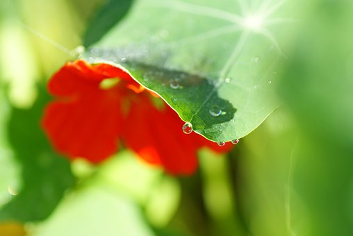Nasturtium, Cress, Wassertrofpen, Mirror Image, Blossom