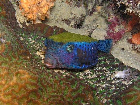 Boxfish, Diving, Underwater, Red Sea, Eritrea