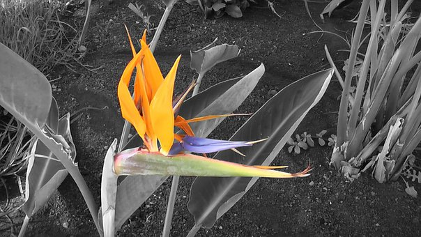 Bird Of Paradise, Flower, Exotic, Color, Plant, Leaves