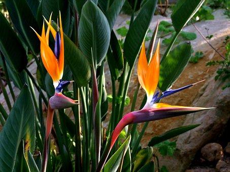 Strelitzia, Flowers, Bird Flower