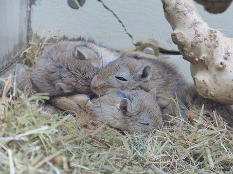 Gerbils, Mongolia, Mouse, Mammal, Rodent, Sleep