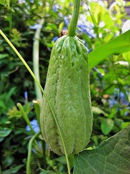 Squash, Shu-shu, Fruit, Green, Oblong, Produce