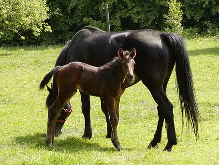 Holstein, Horses, Foal, Animal, Mare, Mammal, Pasture