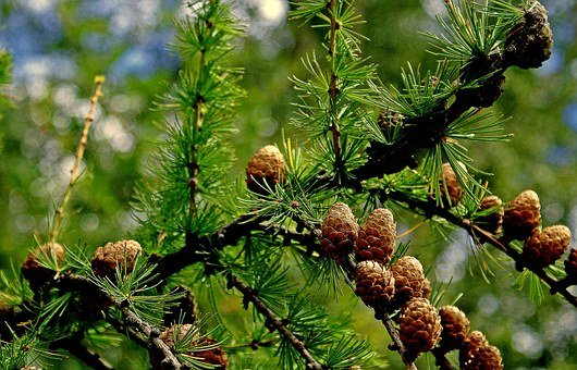 Nature, Tree, Larch Tree Name, Larch, Cones