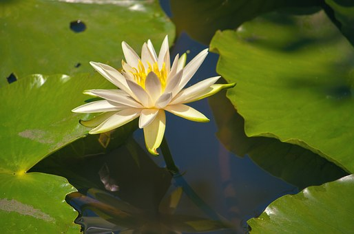 Lotus, Water, Pond, Green, Nature, Lake, Plant, Bloom