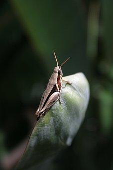 Grasshopper, Cricket, Insect, Antenna, Bug, Macro, Leaf