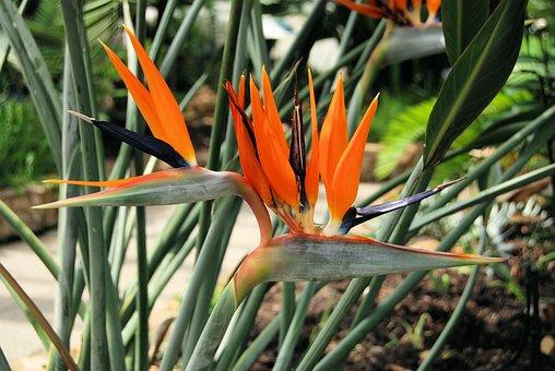 Plant, Strelitzia Reginae, South Africa, Orange