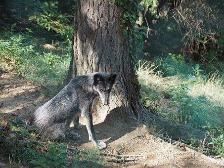 Wolf, Zoo, Timberwolf, Black, Nature