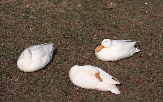 Ducks, 3, Three, White Duck, Domestic Ducks, Water Bird