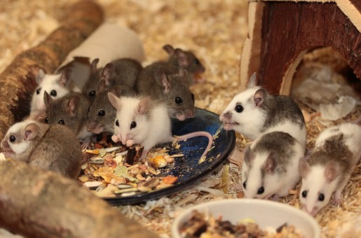 Mouse, Mastomys, Nager, Rodents, Close, Young, Fur