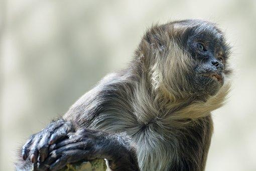 Monkey, Head, Animal Portrait, Close, Zoo