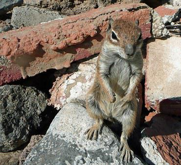 Atlas Croissant, Fuerteventura, Beach, Furry, Nager