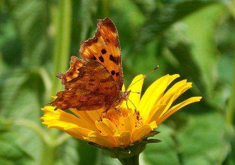 Butterfly, C Falter, Butterflies, Edelfalter