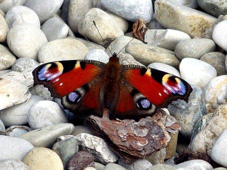 Peacock Butterfly, Peacock, Butterfly, Butterflies
