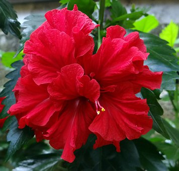 Hibiscus-double, Red, Flower, China Rose, Rosa Sinensis