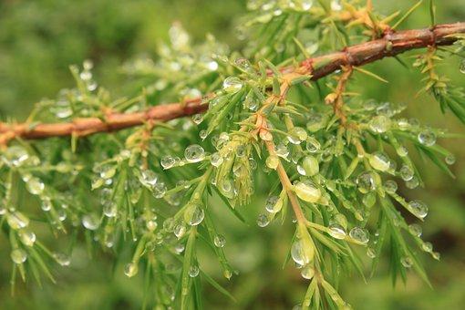 Bush, Coniferous, Drops, Green, Juniper, Water