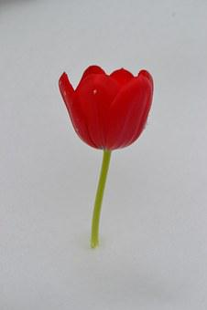 Tulip, Flower, Winter, Spring, Floral, Bouquet, White