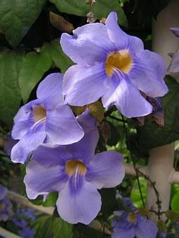 Flowers, Blue, Climbing, Blossomed, Nature, Plant