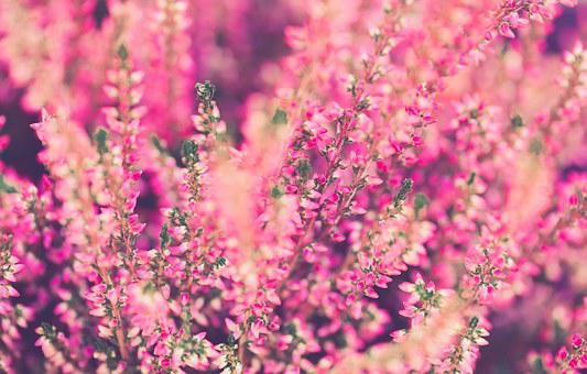 Heather, Flowers, Pink, Plant, Garden, Close Up, Nature