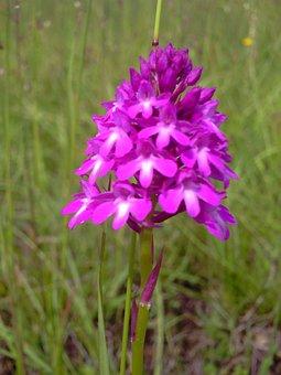 Pyramidal Orchid, Flowers, Jena, Blossom, Bloom, Purple