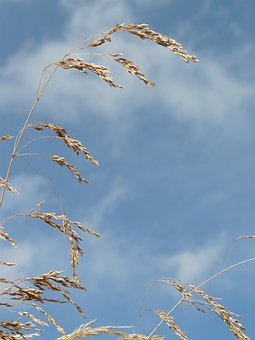 Grass, Wind, Blow, Flutter, Dry, Seeds
