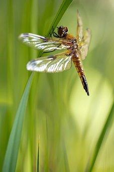 Libellula Quadrimaculata, Dragonfly, Four Patch, Female