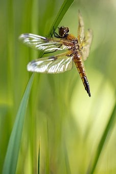 Libellula Quadrimaculata, Dragonfly, Four Patch, Female