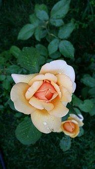 Rose, Flower, Waterdrops, Blossom, Floral, Garden