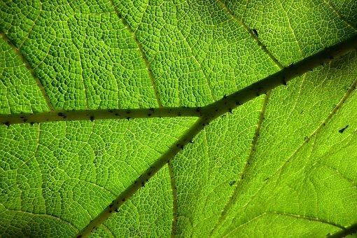 Botany, Leaves, Green, Nature, Candling