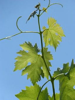 Vine, Outbreak, Leaves, Trasluz