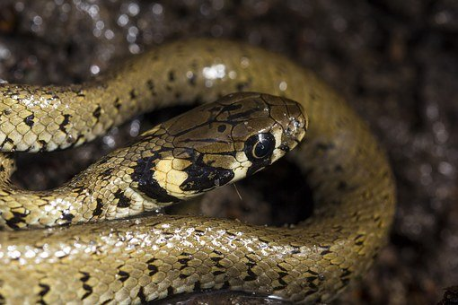 Grass Snake, Snake, Reptile, Nature, Wildlife, Animal