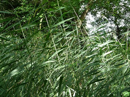 Reed, Ordinary Reed, Phragmites Australis