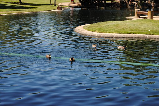 Ducks, Lake, Pond, Park, Wildlife, Swimming, Outdoor